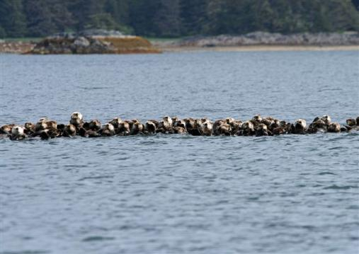 raft of sea otters on whale tour